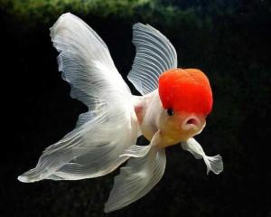Ed-cap-goldfish